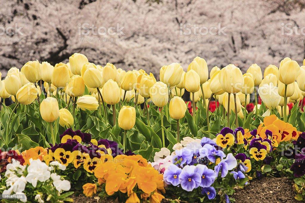 Tulips field with Sakura royalty-free stock photo