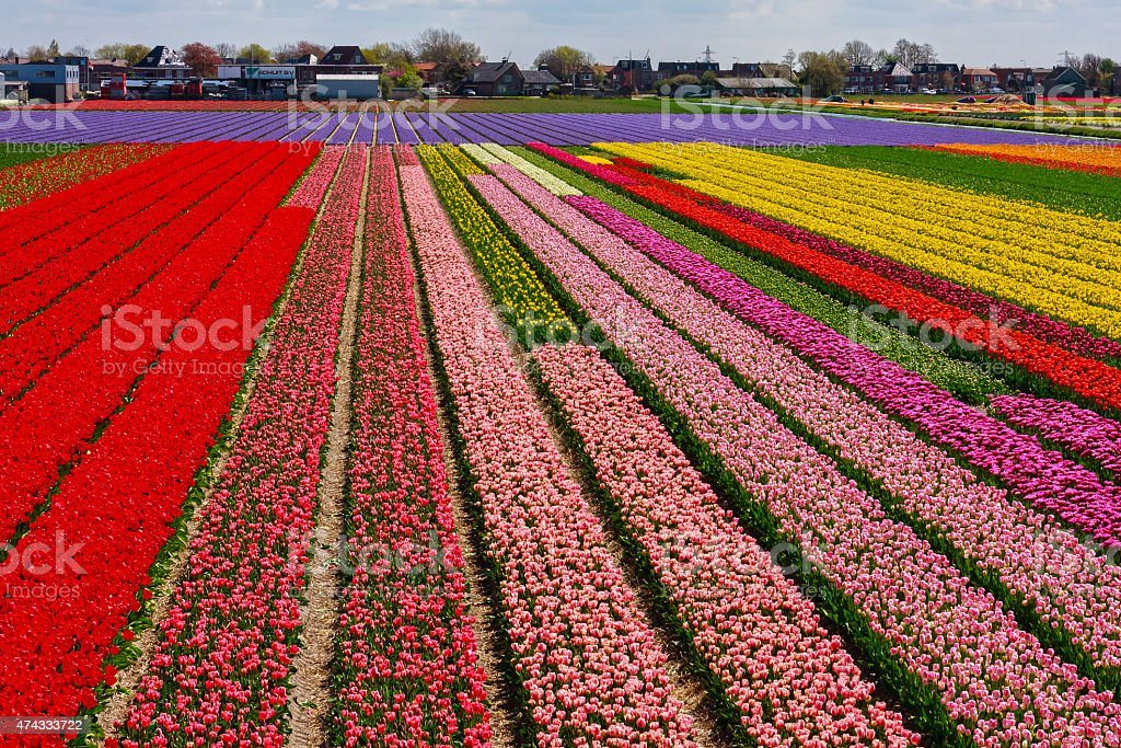 Tulips fields in Holland stock photo