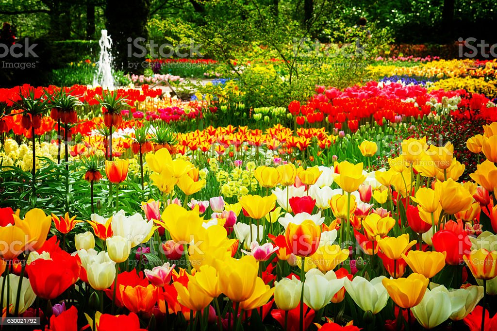 tulips flowerbeds at spring stock photo