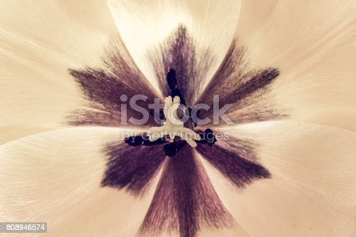 652288118istockphoto tulips flowers background, macro nature floral with copy space 808946574