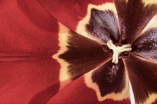 652288118 istock photo tulips flowers background 695386244