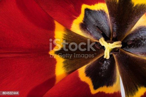 652288118istockphoto tulips flowers background 804532444