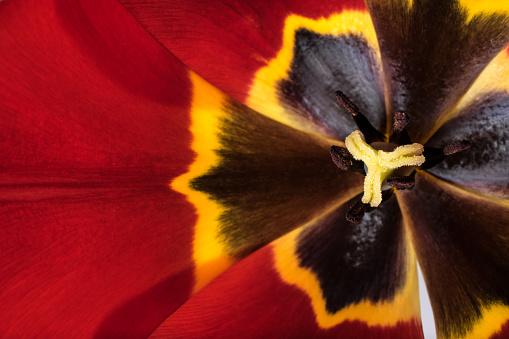 652288118 istock photo tulips flowers background 804532444