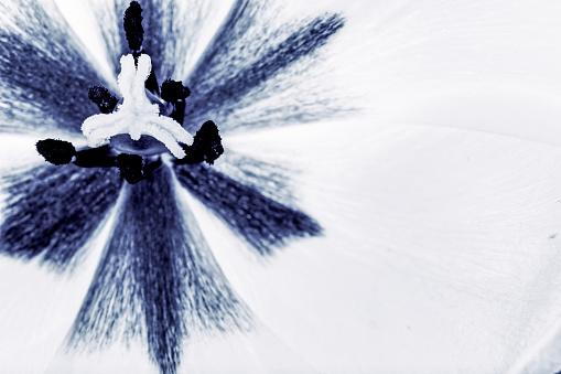 652288118 istock photo tulips flowers background 806928954