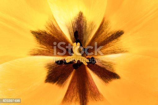 652288118istockphoto tulips flowers background 825397498