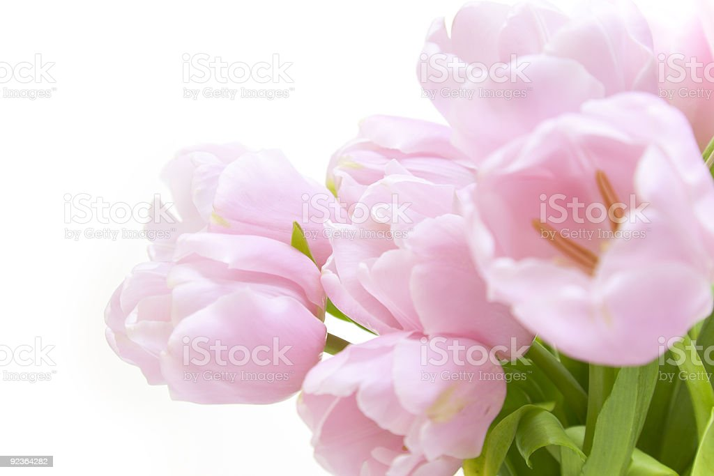 Tulips flowers  / horizontal with copyspace  / isolated on white royalty-free stock photo