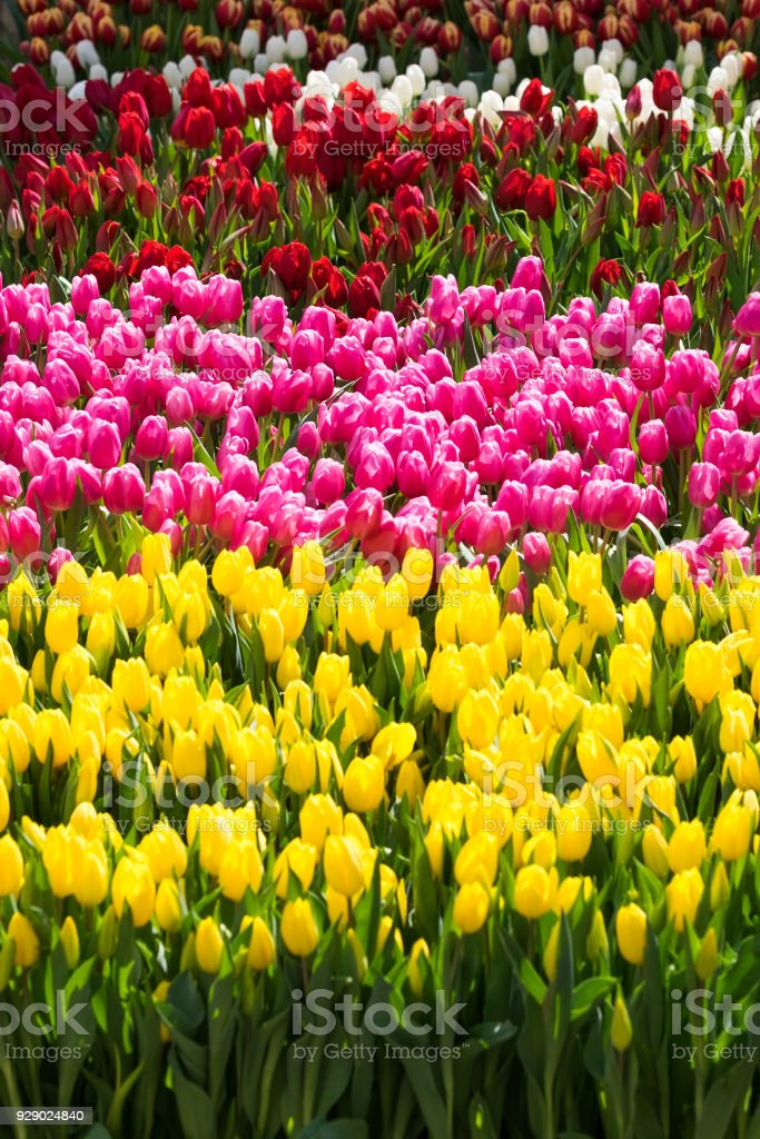 100,000 Tulips for National Tulip Day in San Francisco's Union Square, March 3, 2018 stock photo