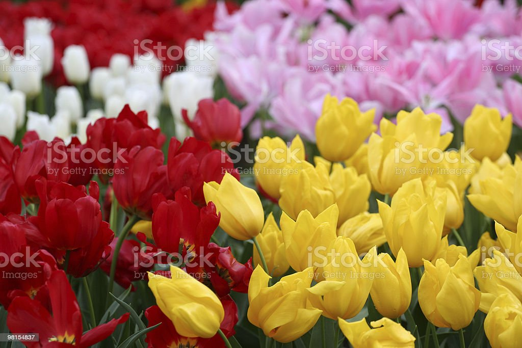 Tulips from Amsterdam royalty-free stock photo