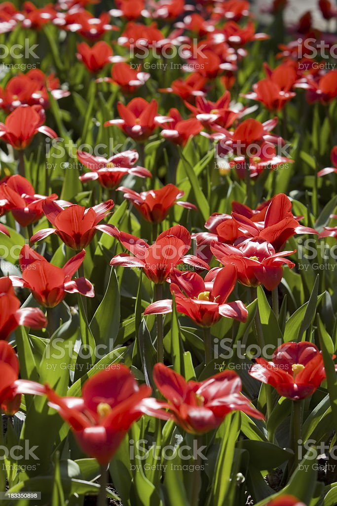 Tulips from Holland stock photo