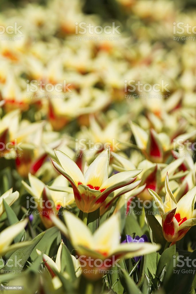 Tulips from Holland royalty-free stock photo