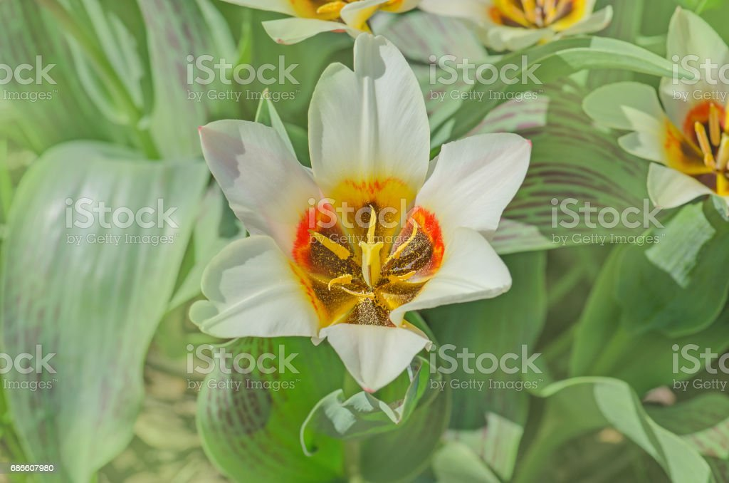 Tulips growing in the garden royalty-free stock photo