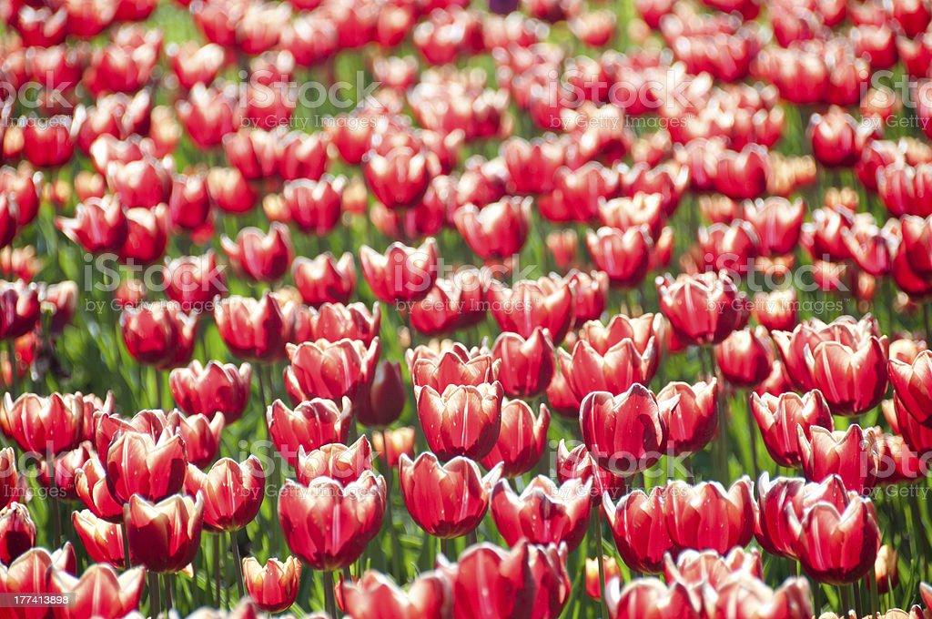 Tulips heads horizontal pattern royalty-free stock photo