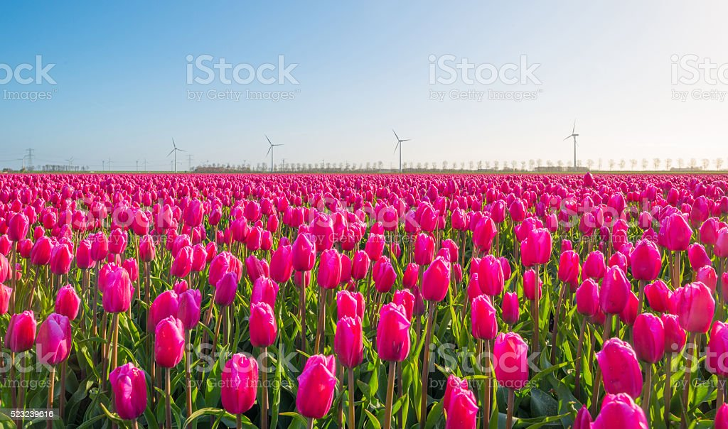 Tulips in a field in spring stock photo