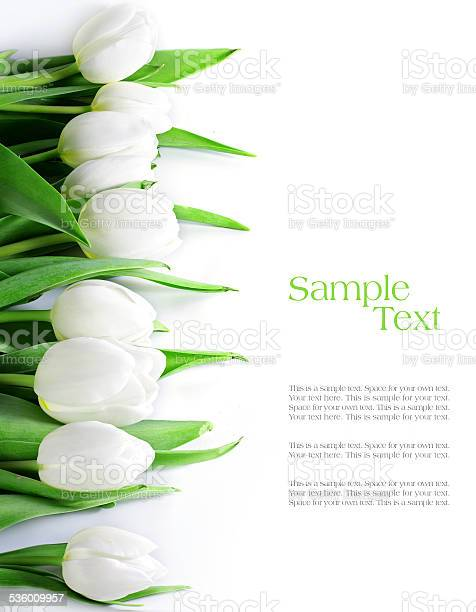 Tulips in a row isolated on white picture id536009957?b=1&k=6&m=536009957&s=612x612&h=rz20d0parzmrgefrzo7phgwvvj7g0ovfyiulxwjonvs=