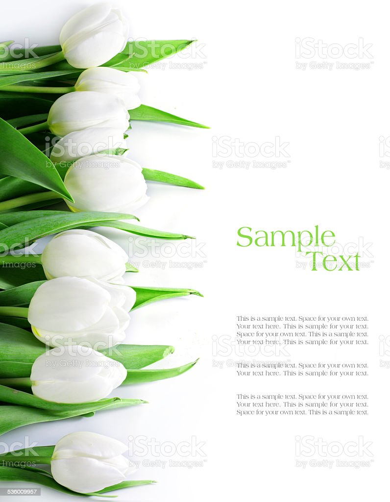 tulips in a row, isolated on white stock photo