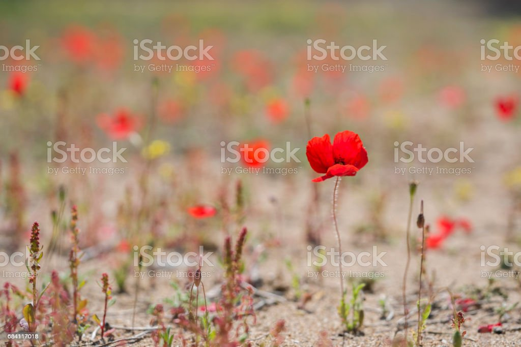 Tulips in a wild field. Red flowers foto stock royalty-free