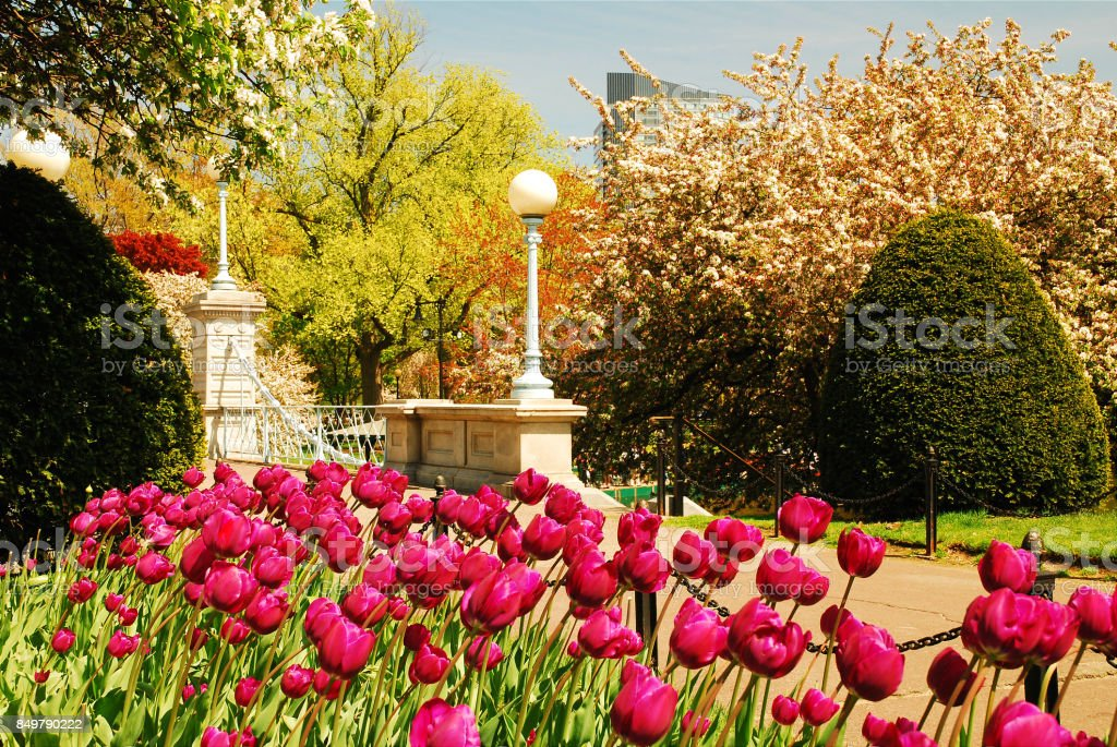 Tulips in Bloom in Boston Publik Garden stock photo
