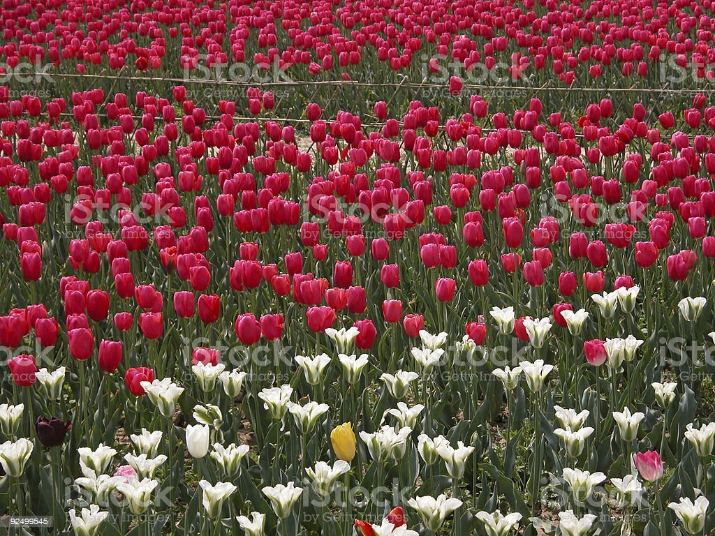 Tulips in China royalty-free stock photo