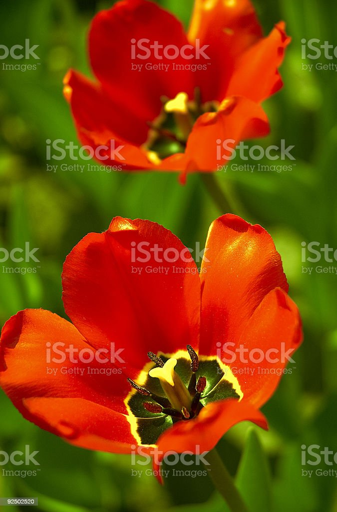 tulips in close up royalty-free stock photo
