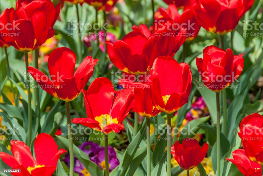 Tulips in Emirgan - Royalty-free Agricultural Field Stock Photo