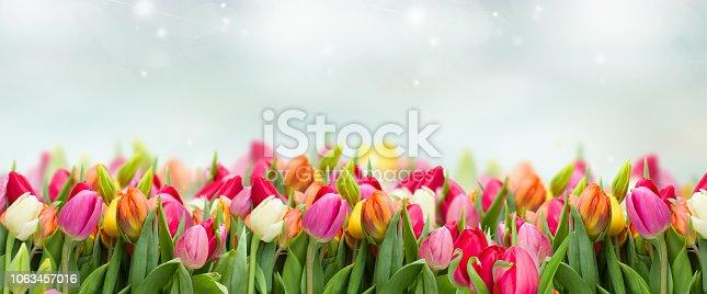istock tulips in garden 1063457016