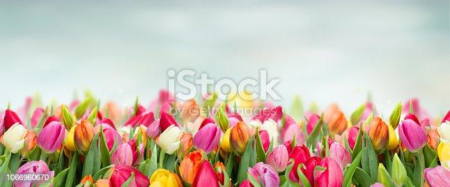 istock tulips in garden 1066960670