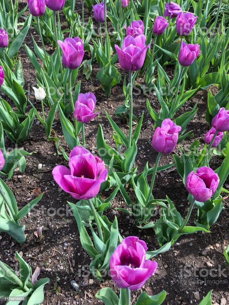 IMG_4281 Tulips in Garden stock photo