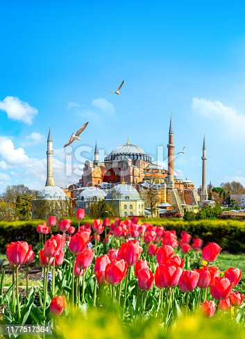 Tulips in Istanbul during Tulip festival, in Sultanahmet region with Hagia Sophia