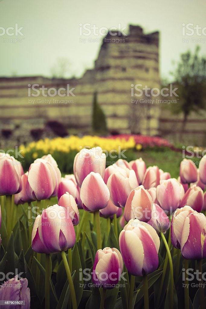 Tulips in Istanbul royalty-free stock photo