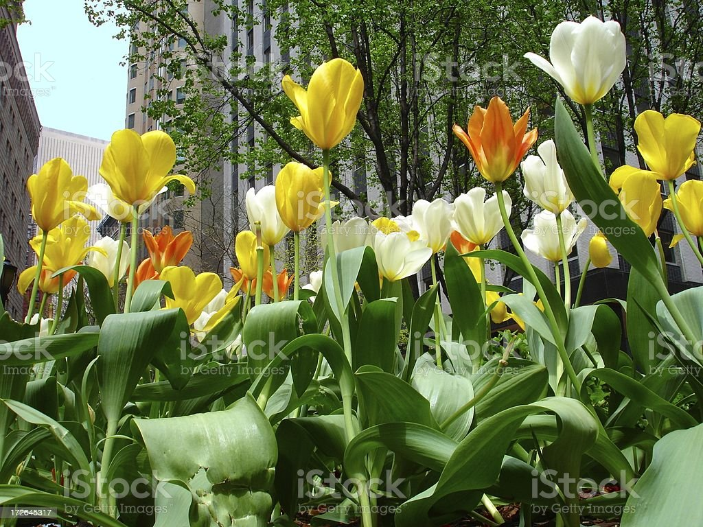Tulips in NYC royalty-free stock photo
