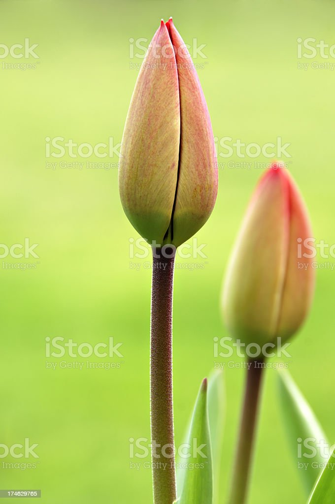 Tulips in Spring royalty-free stock photo