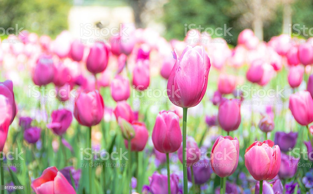 Tulips in Springtime on Easter Day stock photo