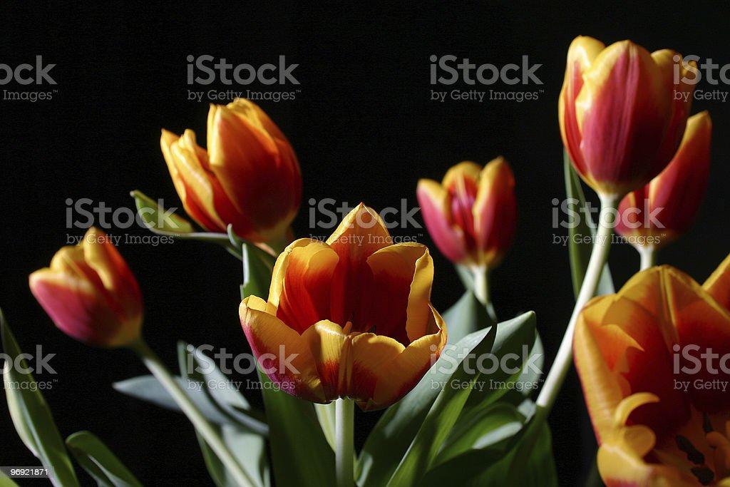 Tulips in studio royalty-free stock photo