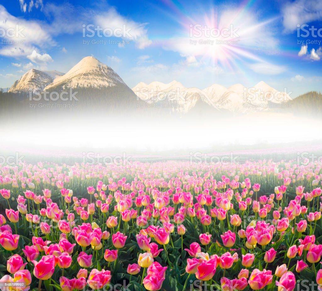 Tulips in the Carpathian region stock photo