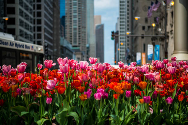 Tulips in the city stock photo