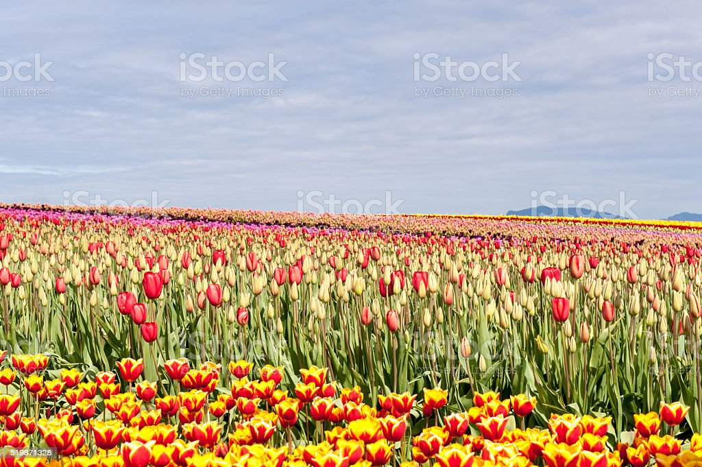 Tulips In the Field stock photo