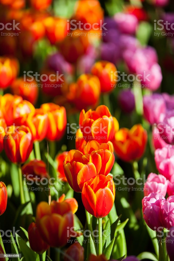 Tulips In The Garden At The Morning Stock Photo U0026 More Pictures Of ...