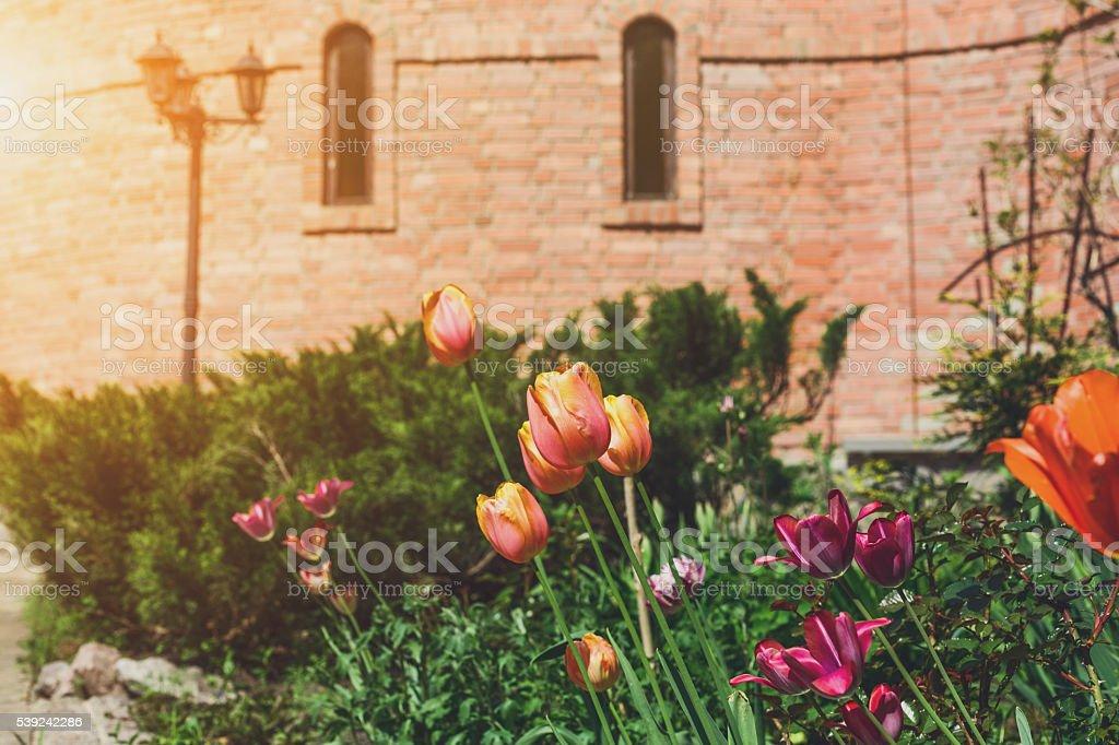 Tulipanes en el jardín, paisaje diseño. foto de stock libre de derechos