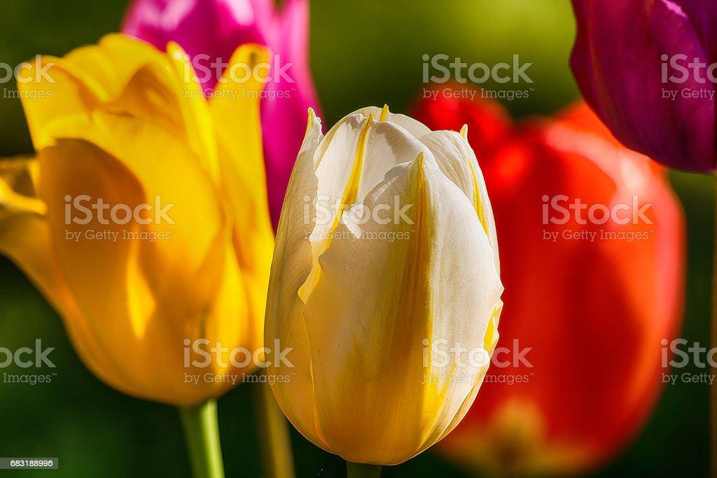 튤립 정원  royalty-free 스톡 사진