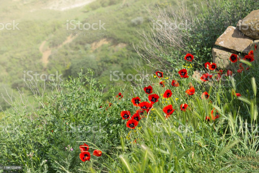 Tulpen in den Bergen über David Gareji oder Gardja Höhlenkloster - Lizenzfrei Baumblüte Stock-Foto