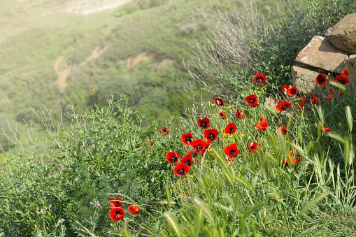 Tulpen In Den Bergen Über David Gareji Oder Gardja Höhlenkloster Stockfoto und mehr Bilder von Baumblüte