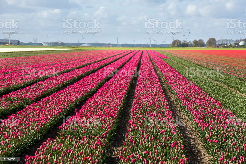 tulips in the Netherlands royalty-free stock photo