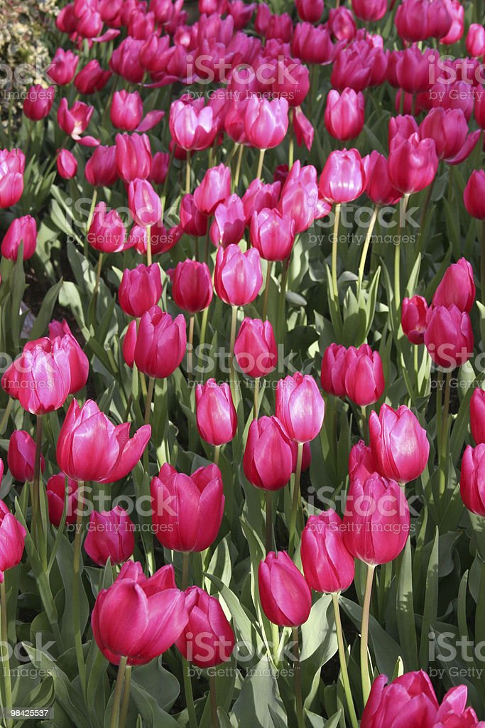 Tulips in the Sunlght royalty-free stock photo
