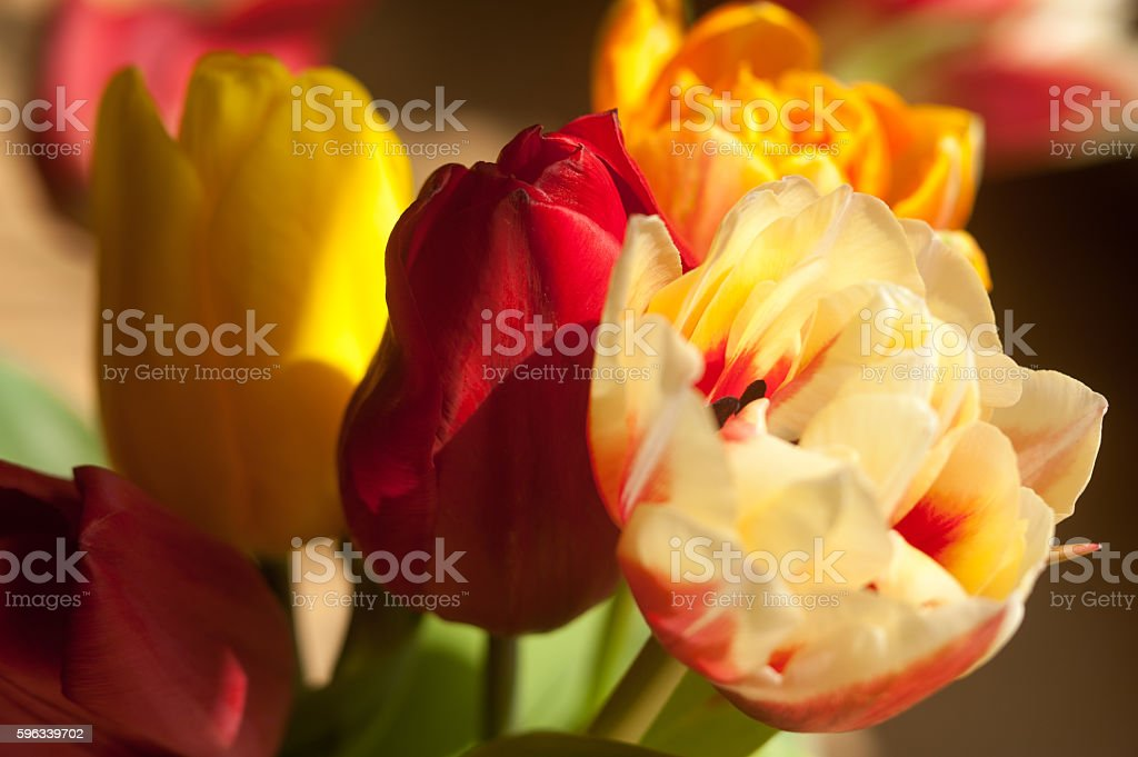 Tulips in warm light royalty-free stock photo
