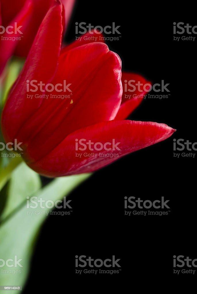 Tulips Isolated On Black royalty-free stock photo