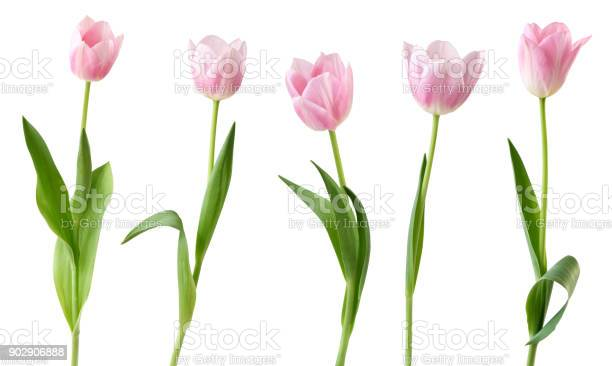 Tulips isolated on white background picture id902906888?b=1&k=6&m=902906888&s=612x612&h=wqdn4p xfhuagimwrmbvbpps7qb6b9rbmvksmvq0bdy=