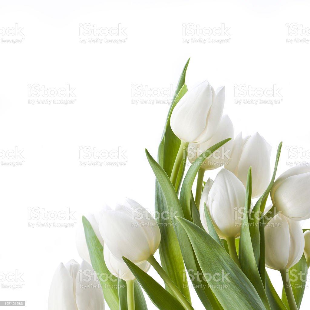 Tulips isolated on white stock photo
