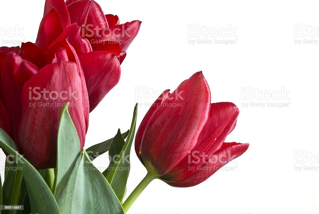 Tulips Isolated On White royalty-free stock photo