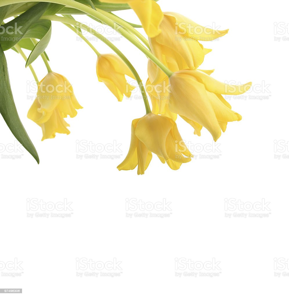 tulips isolated on white royalty-free stock photo