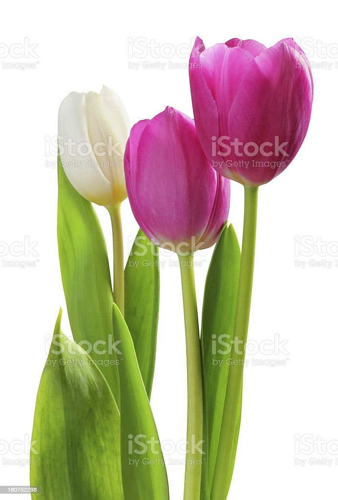 Tulips isolated. royalty-free stock photo